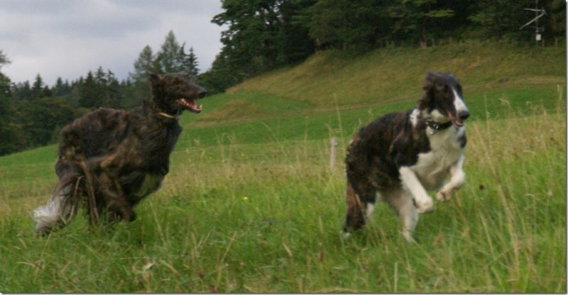 Dark-brindled borzoi-puppies expected in may 2015 from very healthy and beautyfull parents!