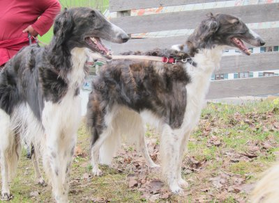 waiting for borzoi-puppies