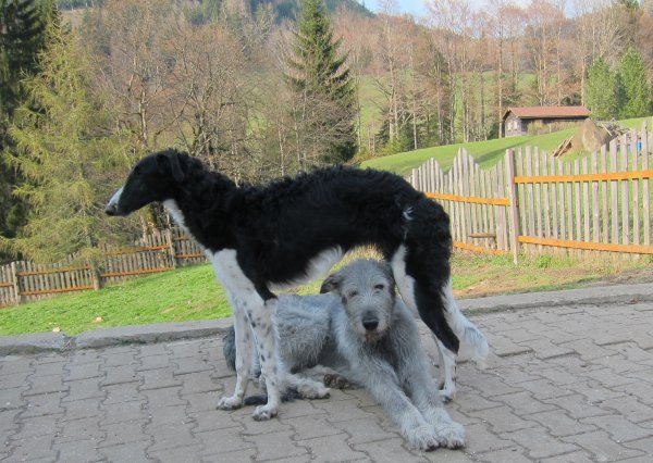 Best friends Borzoi and Irish Wolfhound