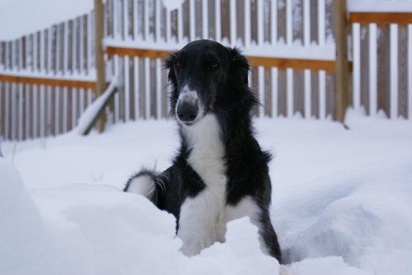 Barsoi im Schnee