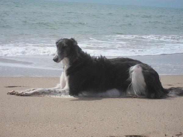 Windhund im Urlaub am Meer