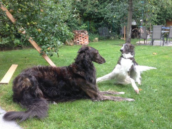 spielendes Barsoipaar - dunkle Mantelhunde Mahagony gestromt