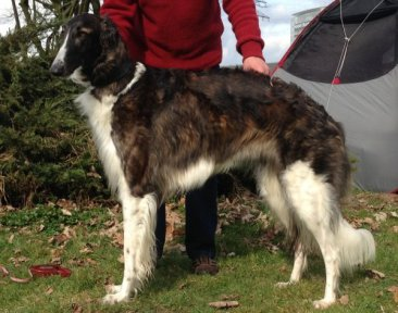 Mutter des F-Wurfes: Borzoi-puppies expected from Gelert Spirit's in may 2015