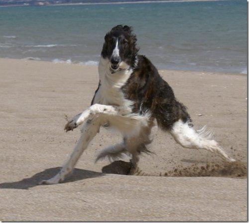 Barsoihündin tobt am Strand