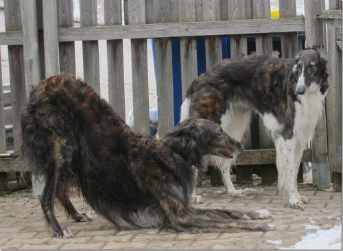 dark-brindled borzoi-parents - puppies in summer 2015