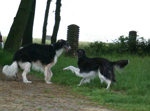 Borzoi-Couple