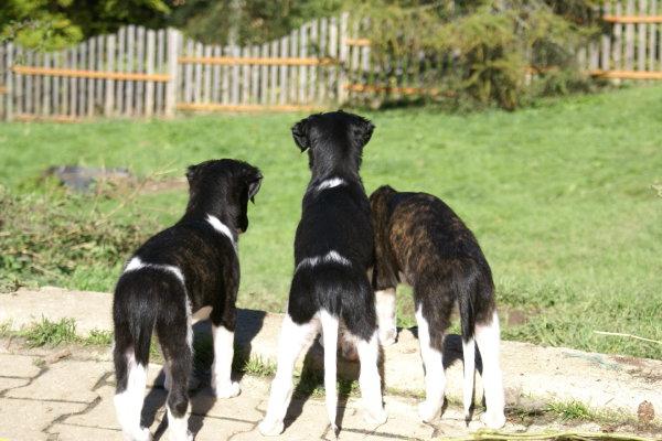 kleine russische Windhunde erkunden Garten