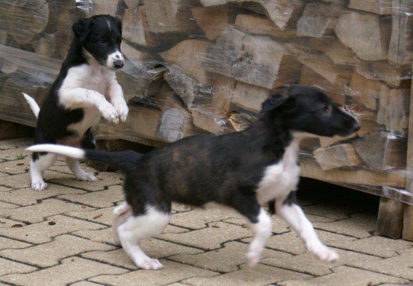 Windhund-Rennen, Barsoi-Babys