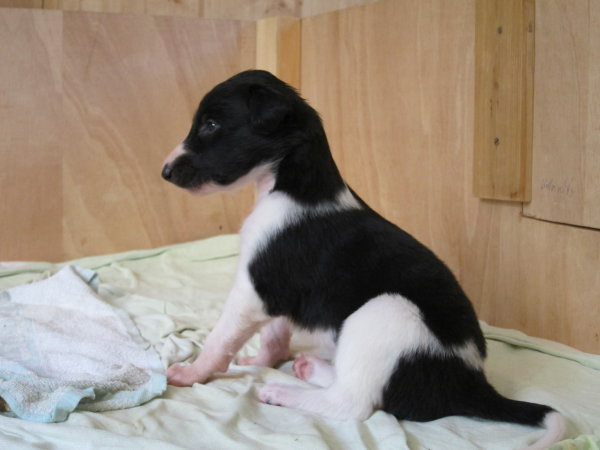 little borzoi baby