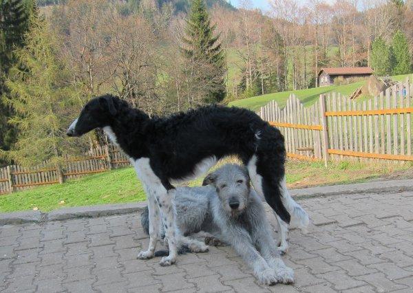 Barsoi-Welpe mit ihrer Wolfshund-Amme!