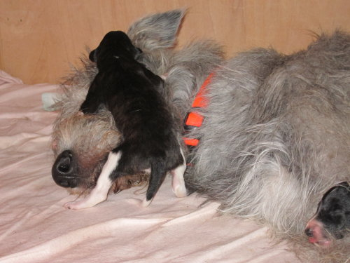 Borzoi-puppie with Irish wolfhound
