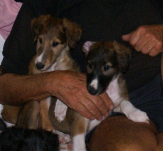 Barsoi-Welpen abzugeben, available borzoi-puppies