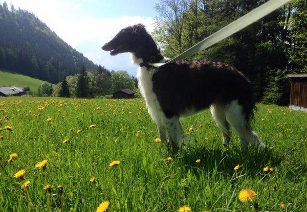 Barsoi-Hündin in Berchtesgaden Mai 2015 am 52. Tag der Trächtigkeit
