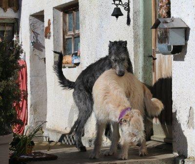 Weiße und graue Wolfshund-Welpen erwartet im April 2016!