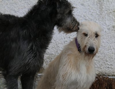 Wolfhound-Puppies in April 2016 - white and grey.