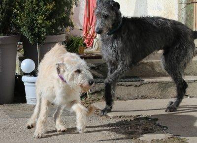 Wir erwarten Riesenbabys - Irish-Wolfhound-Zucht im DWZRV