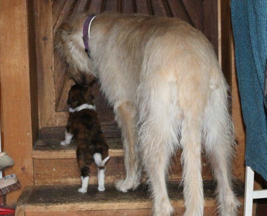Barsoiwelpe mit Irish Wolfhound