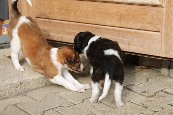 borzoi puppies