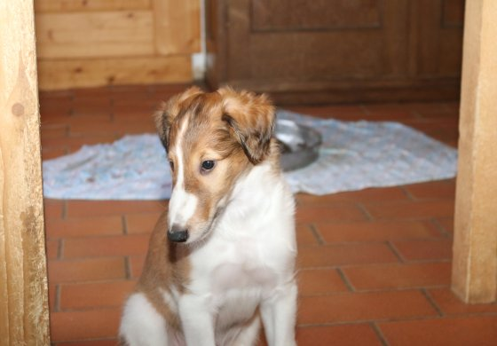 Borzoi-puppy Gelert Spirit's Galina