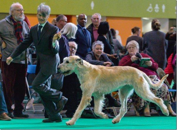 Crufts 2017 - Best Veteran Irish Wolfhound males: Gelert Spirit's Bandit
