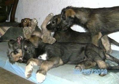 IW-puppies, spielende Welpen der Rasse Irish Wolfhound