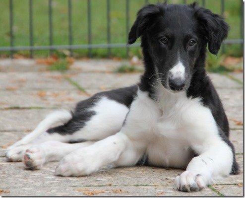 Borzoi-Puppy Gelert Spirit's Elijah-Sergej le Marquis noir