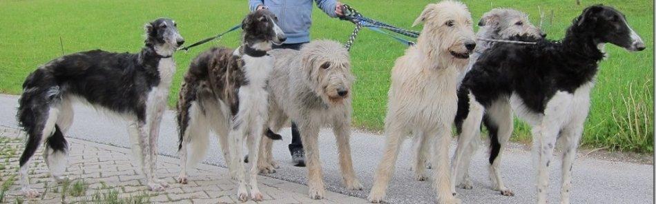 Windhundzucht im DWZRV und VDH - Barsoi und Irish Wolfhound in Berchtesgaden