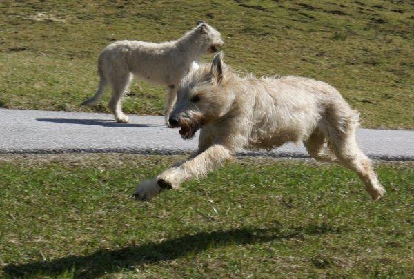 Irish Wolfhound im gestreckten Galopp