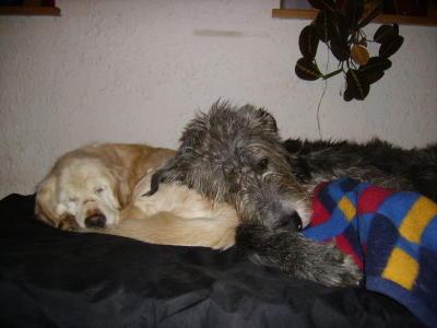 wahre Liebe - Retriever-Mix Cleo mit Irish Wolfhound Holmes