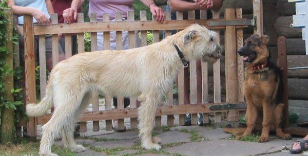 Welpen lernen sich kennen: Irish Wolfhound und Deutscher Schäferhund