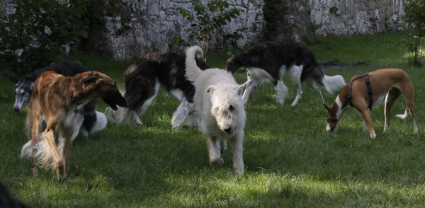 spielende Windhunde: Barsoi, Wolfshund und Podenco