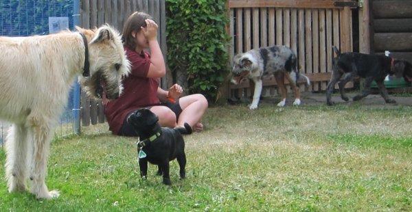 Welpenschule - Irischer Wolfshund mit Mops