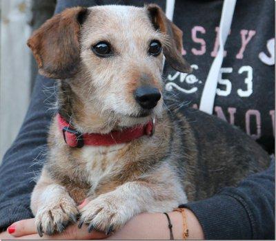 Dackel-Terrier-Mischlingshündin