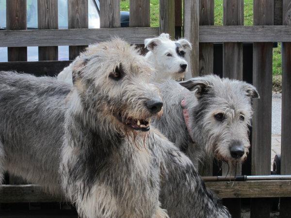 Irish Wolfhounds und Parson Jack Russel
