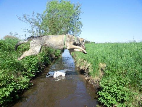 wolfhound im weitsprung