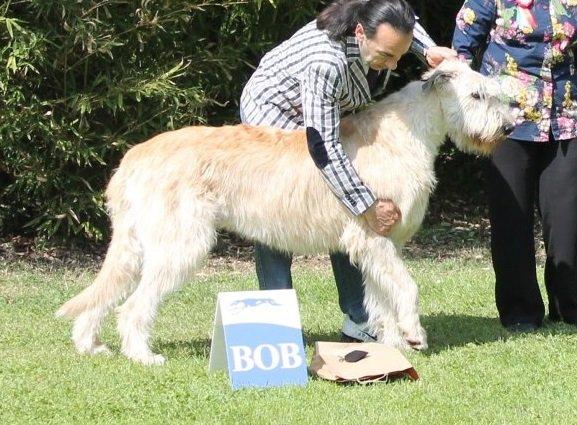 Rassebester Irish Wolfhound bei der Show in Padenghe 2013 Gelert Spirit's Bandit