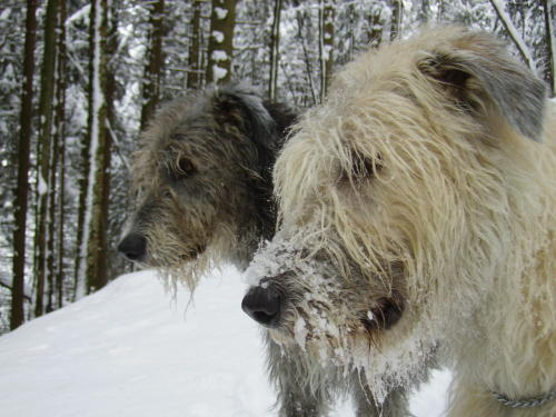 Irish Wolfhound Köpfe