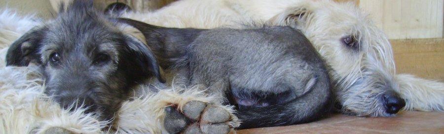Irisch-Wolfshund-Welpe abzugeben - irish-wolfhound-puppy available