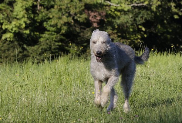 Topfit - bald Veteranin Wolfshündin Gelert Spirit's Big Surprise