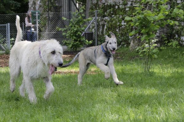Irish Wolfhound Welpe Hektor spielt mit Tante Corazon Fiori Chiari