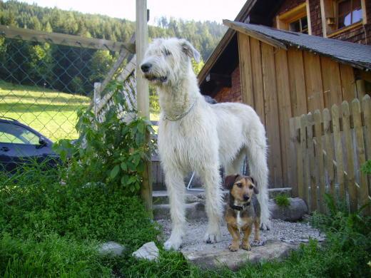 Irish Wolfhound und Bayrisch Jack-Dackel