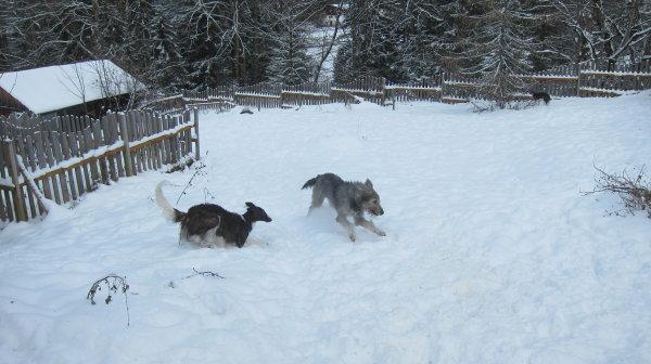 Gute Freunde Barsoi und Irish Wolfhound