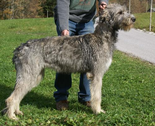 Irish Wolfhound Gelert Spirit's Big Surprise