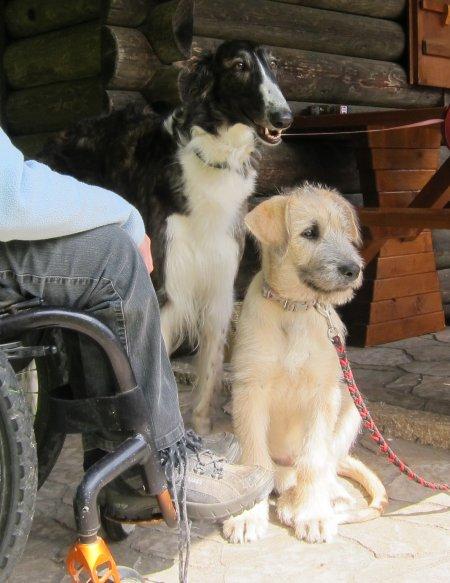 Irish Wolfhound-Welpe und Barsoi auf dem Hundeplatz