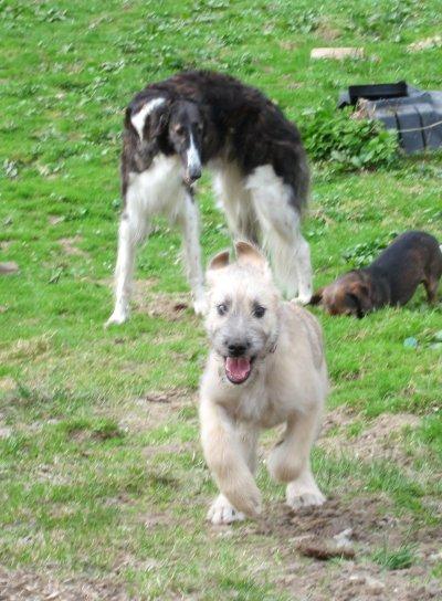 Barsoi Junghündin mit Wolfhound-Welpe