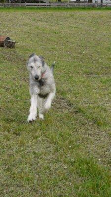 Irische Wolfshunde sind Windhunde und benötigen Platz zum Laufen